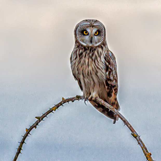 A short-eared owl takes in its surroundings.  Photo by Larry Engles