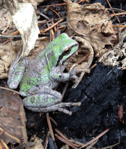 A Pacific treefrog just hanging out on the forest floor. (Matt Ironside/The Seattle Times)