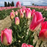 Skagit Valley tulips. (photo by Steve Ringman/The Seattle Times)
