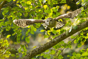 A barred owl soars through the trees. [Gregg Thompson, The Seattle Times.]