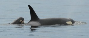 New baby orca J49 with mother J37 in 2012. [Photo courtesy of the Center for Whale Research.]