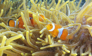 Clownfish swim through an anemone near Dobu Island, Papua New Guinea. Carbon dioxide can alter how clownfish see, hear and smell, which increases the chance of death. [Steve Ringman, The Seattle Times.]