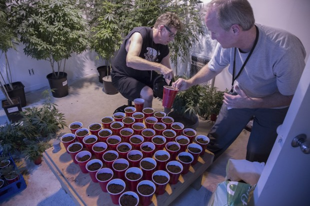 Mark Arnold, left, and Mark Greenshields pot cuttings in the clone room, making the most of plants obtained during a 15-day window of nonenforcement. (Photo by Steve Ringman / The Seattle Times)