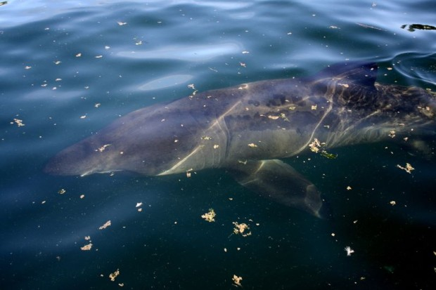 A 25-foot basking shark was spotted in Puget Sound over the weekend. (Grace Coale)